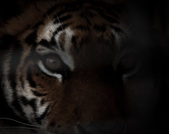 Eye of the tiger big cat feline wildlife print. Intense fierce wild animal art in shadows. Tiger photography king of the jungle photo prints