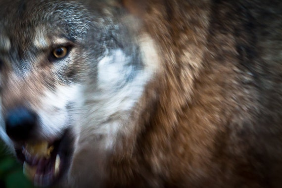 Wolf wall art photography. Loup photos, wolves prints. Fierce wild animals canine growl roar. Man cave home decor guys, boyfriend, husband