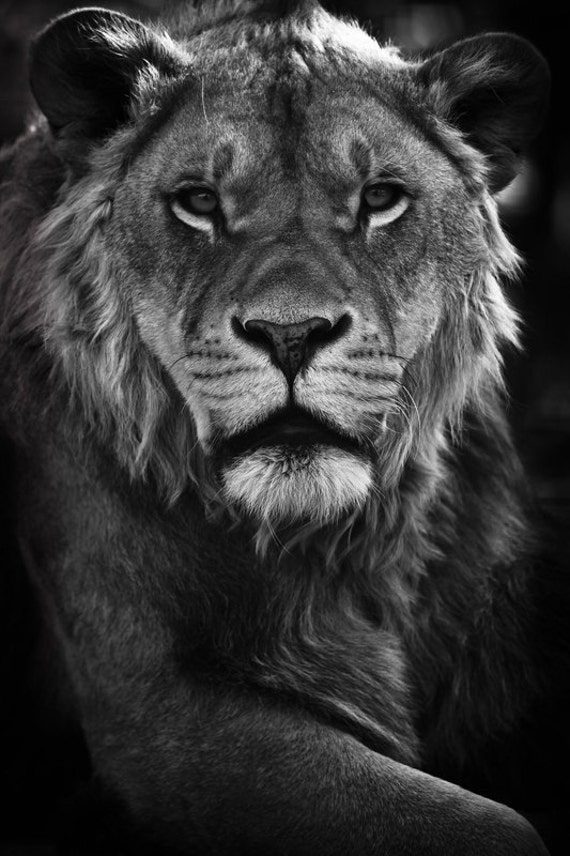 Lions Photography