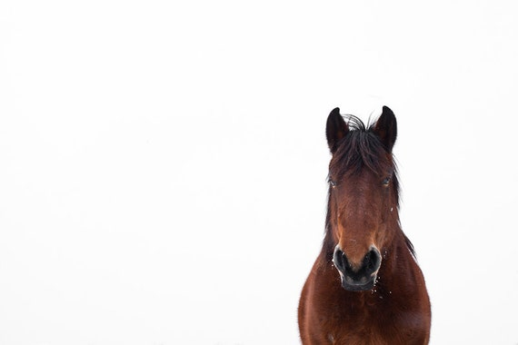 Brown horse white background with cute ears photography art print. Big shire horse photograph wall art home decor for equine lovers. Nursery