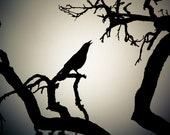 Blackbird singing in the dead of night- 8 x10 Photography Art Print Crow for Halloween