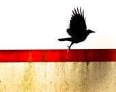Taking Flight - Crow Photography 8 x 8