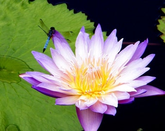Dragonfly's Lotus Flower
