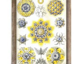 Antique Art Micro Organisms Natural History Illustration Digital Download File Print