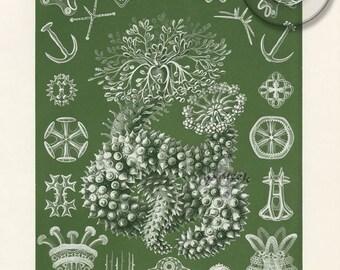 Antique Biology Illustration Digital Download Print Natural History Art Green Ernst Haeckel