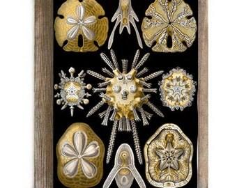 Antique Micro Organism Sea Biscuit Skeletal Ilustration Digital Art Natural Science Biology