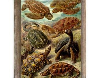 Antique Turtle Illustration Digital Download Art Print Prehistoric Natural History