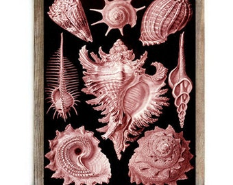 Antique Sea Shell Marine Life Nautical Digital Download Art Print Red Black