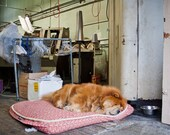 Chow Chow at Son Loy Laundry, San Francisco - Fine Art Photography