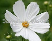 Fleur de France Blank Note Card