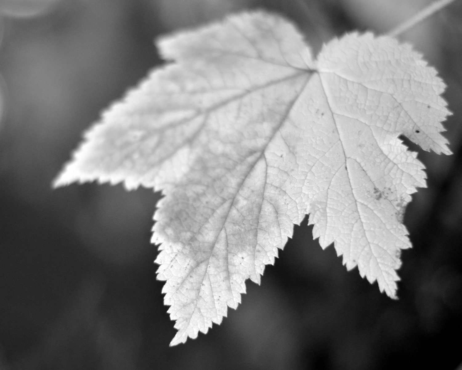 Black And White Nature Prints Leaf Photography Black and