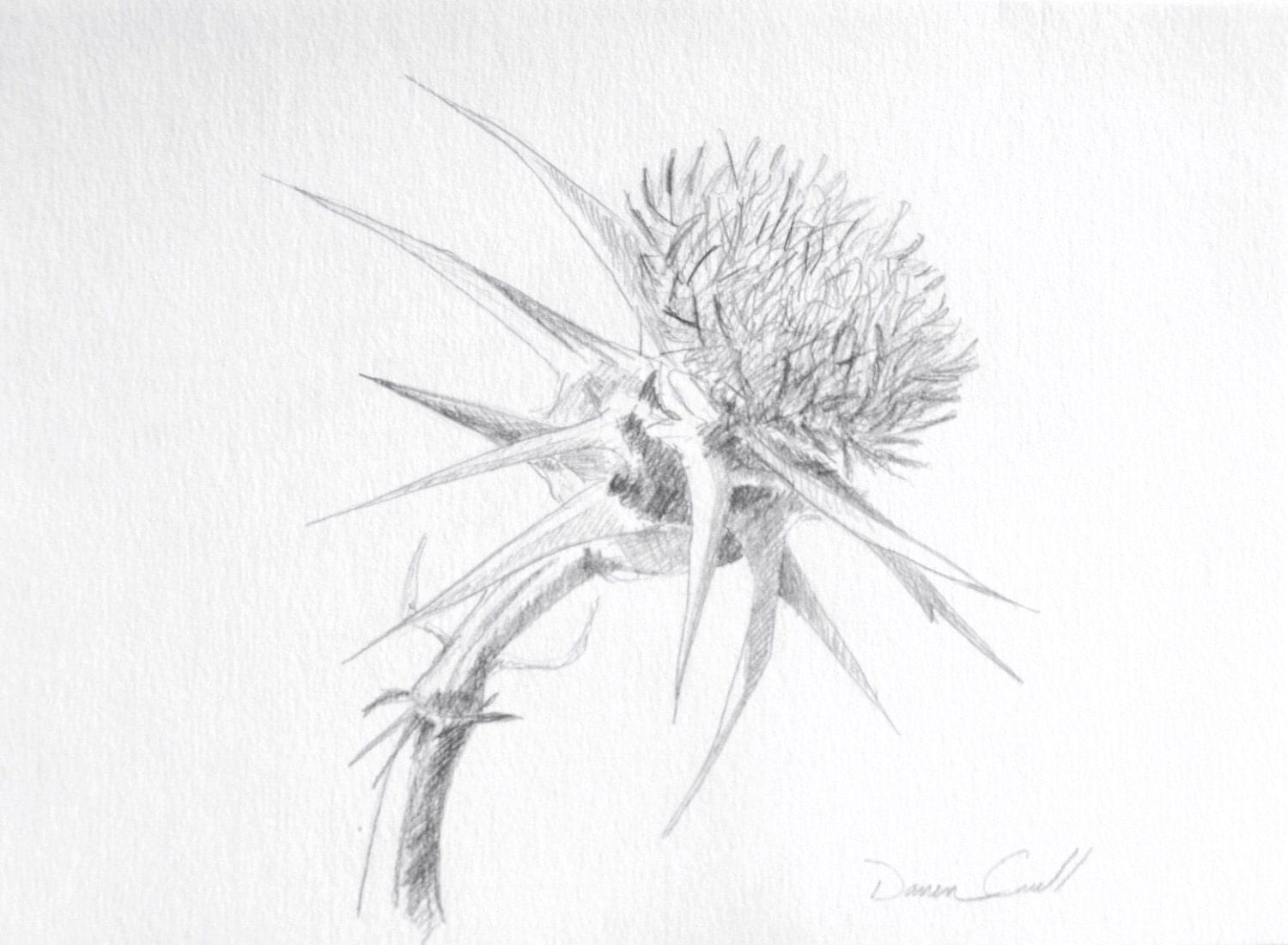 thistle original pencil drawing
