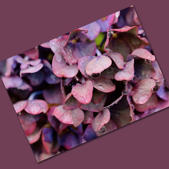 Rain Drenched Pink and Mauve Hydrangea - Card with Envelope