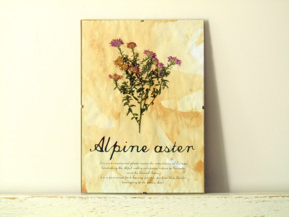 Dried Pressed Flowers- Alpine Aster in Frame (2)