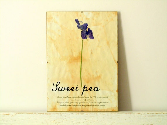 Dried Pressed Flowers- Sweet Pea in Frame (2)