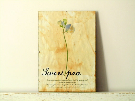 Pressed flower art - Sweet Pea with description in Frame (3)
