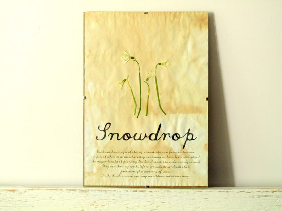 Pressed Flowers- Snowdrops in Frame (1)