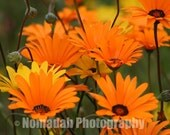 Bright daisy flower print. Orange and Yellow Daisies. Landscape photography. Home Décor. 8.27 x 11.69 (A4)