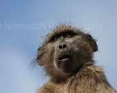 African monkey photograph, Baboon nature photography. Wild baboon, Animal photography, South Africa, Baboon
