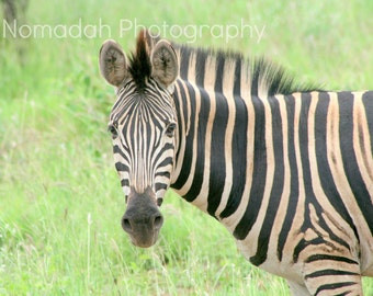 Animal photography, Zebra stripes, Black and white, green grass, wildlife fine art photography, South Africa, African animal, stripes