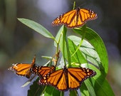 Bunches of Butterflies - Fine Art Nature Photography 4x6