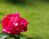 Painting the Roses Red - Fine Art Flower Photography 8x10