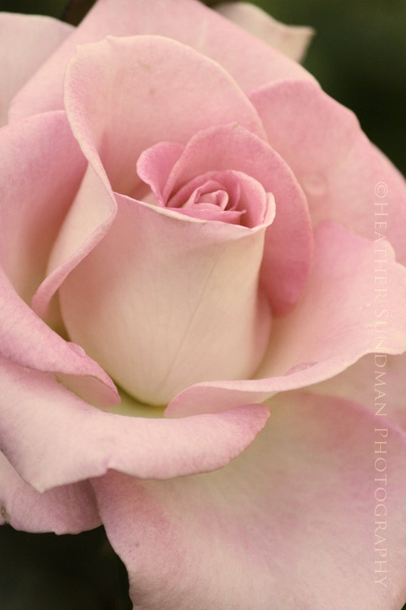 Romantic, Soft, Pink Rose Close Up 4in x 6in Photograph Blossoming Rose Shabby Chic, Flower Print, Garden Photography, Romantic