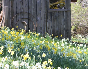 Daffodil Hill Rustic Old Pump House--framed photo