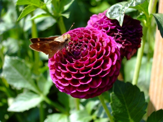 REDUCED PRICE/SALE-Dahlia with Moth--matted and framed photo