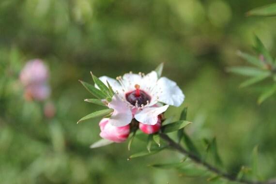 Tea Tree Flower--matted framed photo of flower from Botanical Gardens in San Francisco