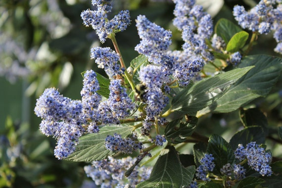 Blue Ceanothus Blossoms--matted photo from Botanical Gardens in San Francisco