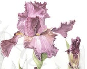 IRIS, reproduction giclee print of my original graphite and watercolor botanical illustration artwork