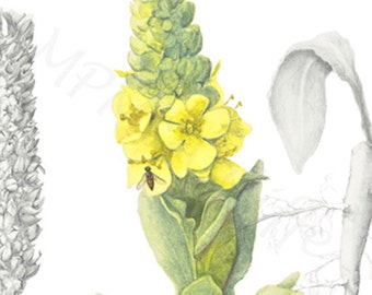 COMMON MULLEIN,, giclee reproduction of my botanical illustration in graphite and watercolor painting
