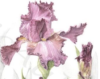 IRIS, reproduction giclee print of my original graphite and watercolor botanical illustration artwork