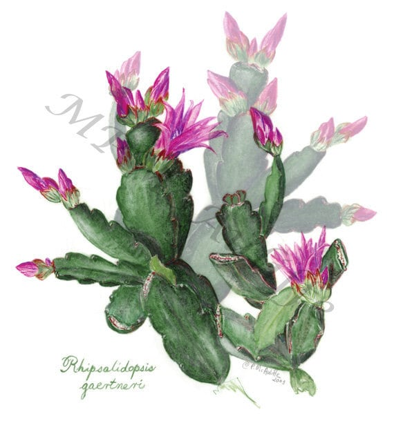 SPRING CACTUS giclee reproduction print of my original colored pencil artwork