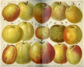 1894 Litho of Apples from German Lexicon