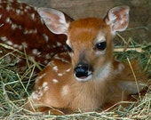 White Tail Deer Fawn 8x10 Print