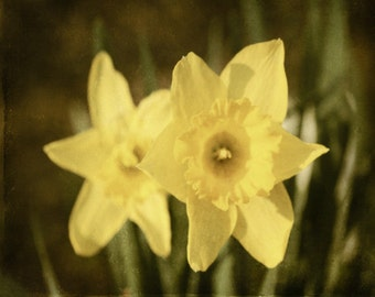 Daffodil Flower Print - Yellow Floral Green Vintage Wall Art Home Decor Spring Garden Photograph
