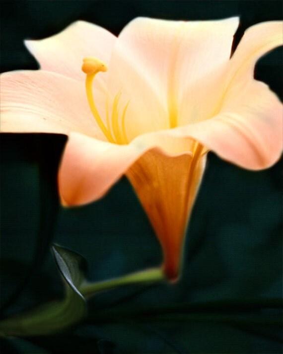 Lily Fine Art Print - Flower Yellow Peach Teal Navy Garden Romantic Home Decor Wall Art Decorate Photograph
