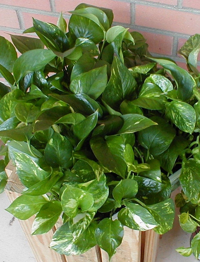 3 pothos plants cleans air fast shipping healthy beautiful - Healthiest houseplants fresh air delight ...