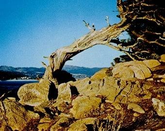 Vintage California Post Card Lone Cypress Los Lobos Photo