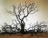 40 Pcs. BEAUTIFUL MANZANITA BRANCHES - 18 to 24 inches Polyurethane Finish    ... Incls. Shipping ...
