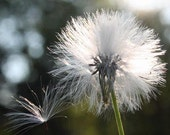 Autumn Dandelion Photo Print 5 x 5 - gone to seed whimsical white nature garden photography wall room decor