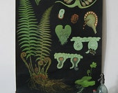 Botanical Chart Jung-Koch-Quentell Educational Chart (Male Fern)