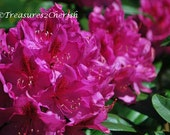 Rhododendron 1 8x10 fine art photograph. Free Shipping in the US