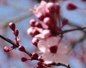 Cherry Blossom Tree - Fine Art Print