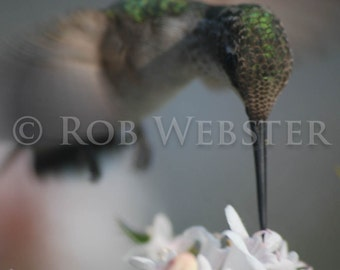 Hummingbird,  8x10 Fine Art Photo