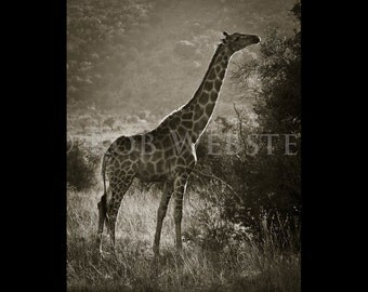 Giraffe 2, 8x10 Sepia Fine Art Photo, num. 4 of Safari Series