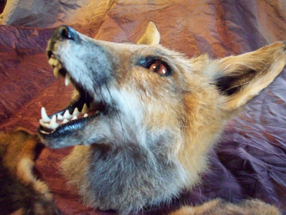 Red fox head taxidermy mount with feet and tail