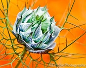 "Love in a Mist, 8x10"" Archival Matted Print"